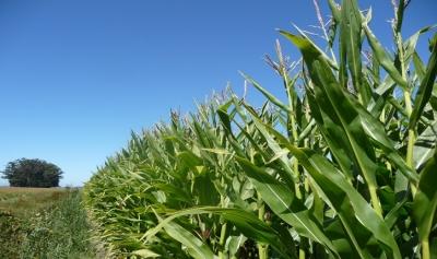 Desarrollan proyecto 2,500 tareas de maíz y sorgo en Duvergé: