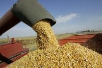 Procesadora de maiz en plena producción.