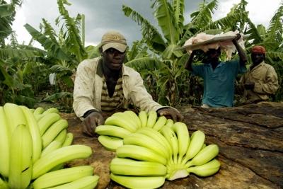 Productores del Noroeste denuncian haitianos están desertando de las fincas: