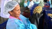 Piña de hijuelos de alta calidad rumbo a Italia