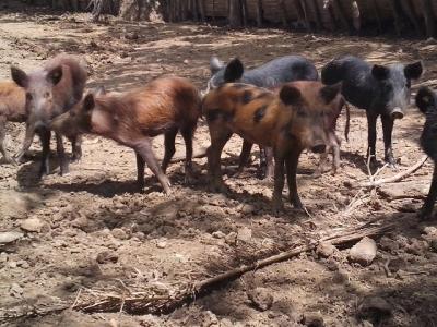 Reaparecen los jabalíes en bosques del Este: