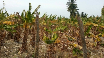 Sequía azota la zona agricola de Azua: