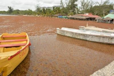 Algas 'invaden' playas y las costas de Pedernales: