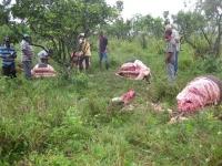 Cuatreros siguen descuartizando reses en Quisqueya