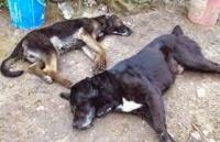 Denuncian que desconocidos han envenenado más de 40 perros