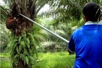 Palma africana constituye la principal fuente de empleo El Valle