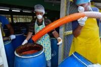 Inicia exportación de ají tabasco para Estados Unidos