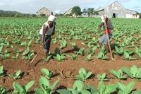 Insecticidas para los productores de tabaco en Jánico